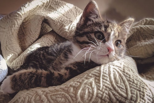 kitty fur